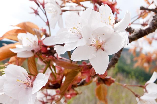 r429面河ダム山桜