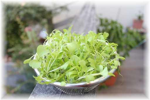 20111126水菜2