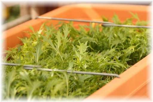 20120129水菜
