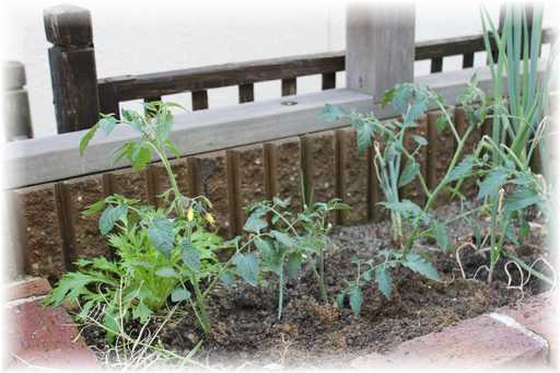 20120610ミニトマトわき芽差し