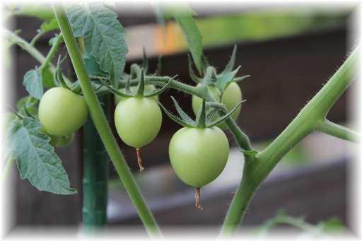 20120630ミニトマト