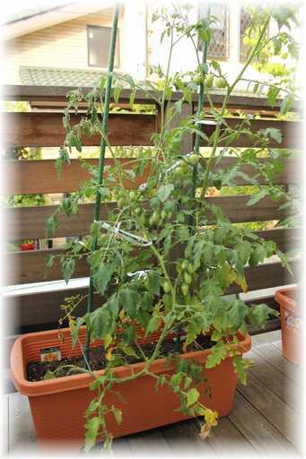 20120630ミニトマト2