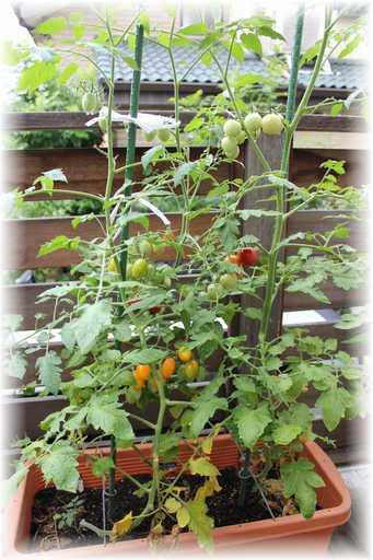 20120714ミニトマト