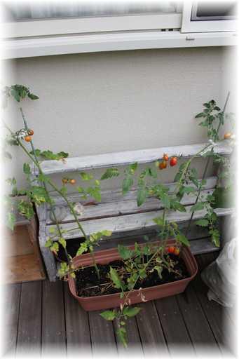 20120811ミニトマト