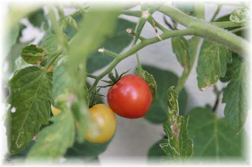20120916ミニトマト