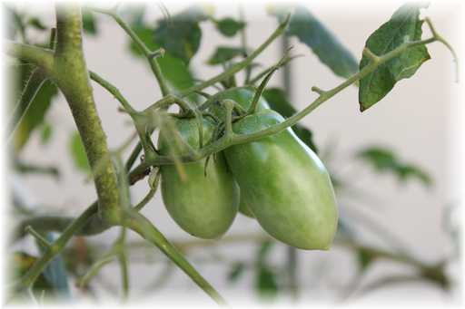 20120916ミニトマト2