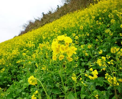 双海の菜の花