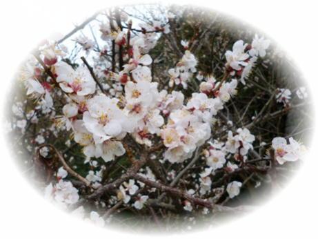 P1020285桜