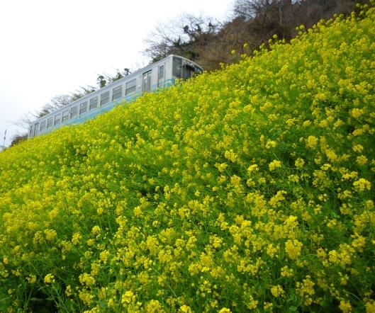 P1020282菜の花