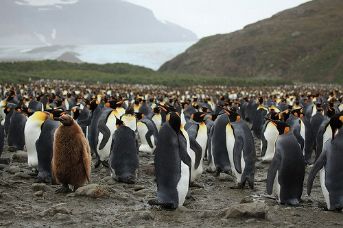 king_penguin_02.jpg