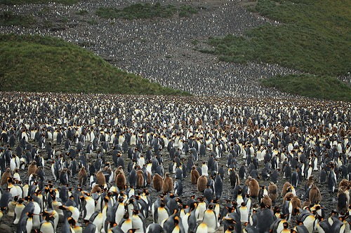 king_penguin_05.jpg