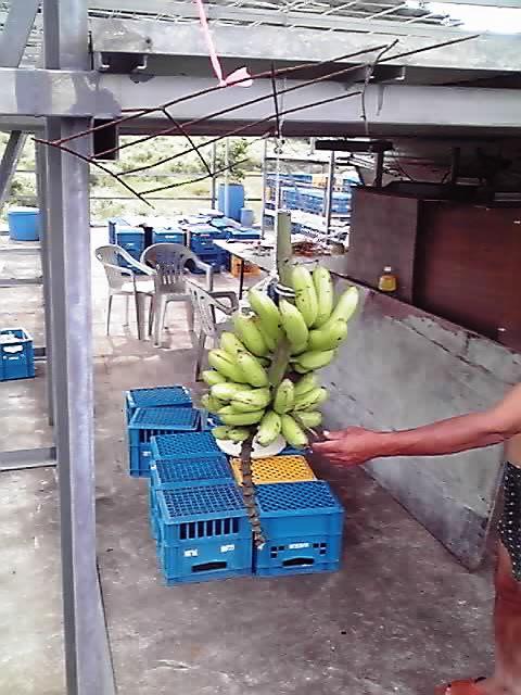 うちのバナナ
