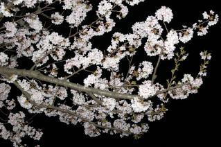 十和田市官庁通り 桜002