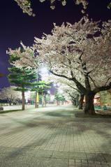 十和田市官庁通り 桜001