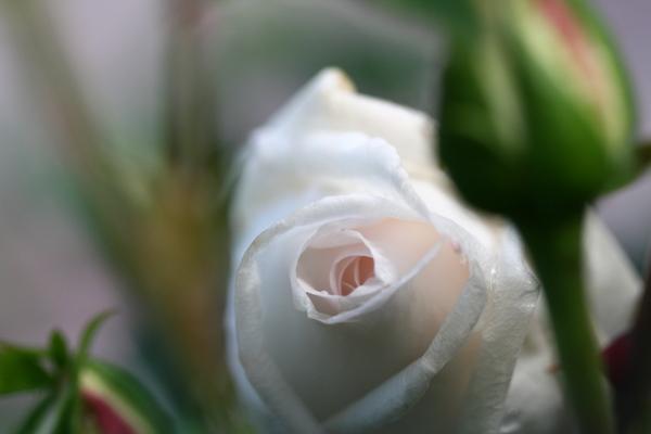 つるバラ「新雪」 2