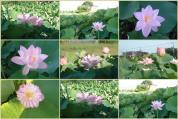 2010年蓮の花です。