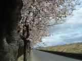 4月1日相模川神川橋付近の桜(1)