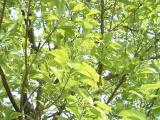 成就院のナンジャモンジャの木