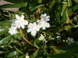 成就院のシャガの花