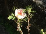 浄見寺境内のボタンの花