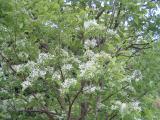 成就院 ナンジャモンジャの木は花が6歩咲き