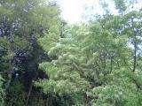 成就院 ナンジャモンジャの木
