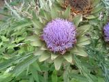 夏の花(2)アザミ