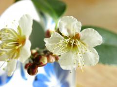 梅の花、咲いた