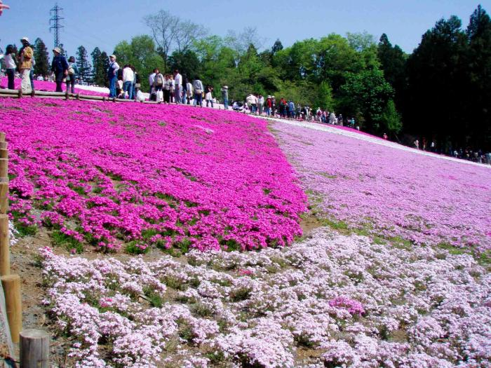 羊山公園の芝桜0001
