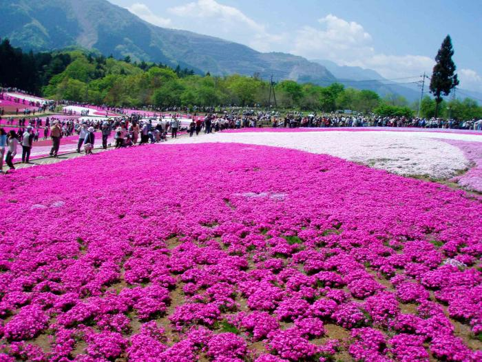 羊山公園の芝桜0002