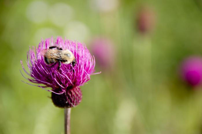 アザミの花の蜜を吸う蜂
