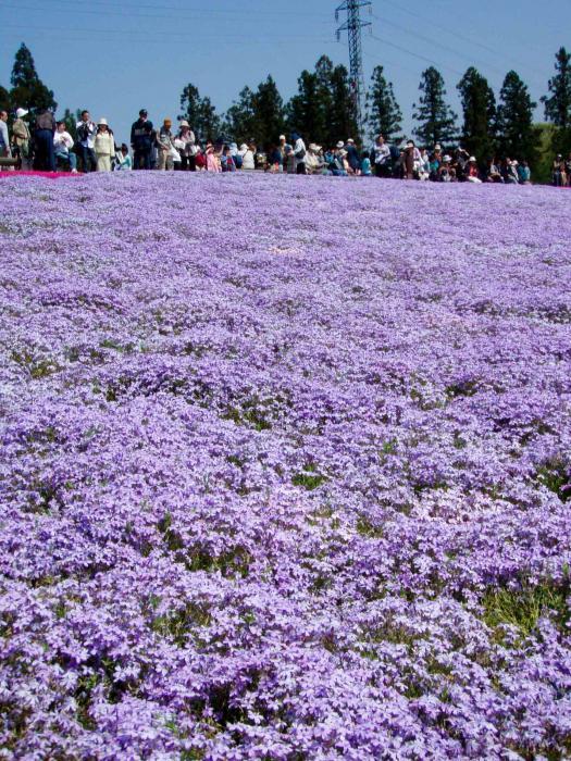 羊山公園の芝桜0004