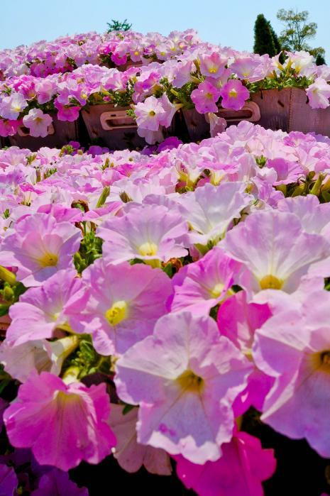 ピンク色の綺麗な花1
