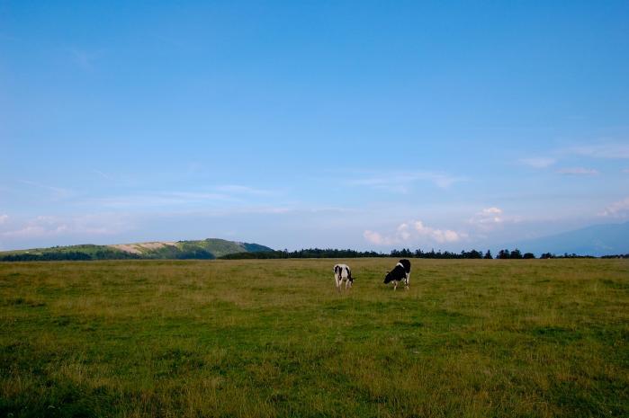 草原と牛002
