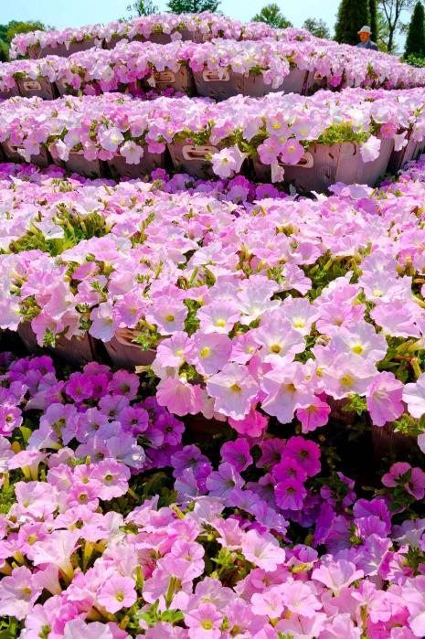 ピンク色の綺麗な花2