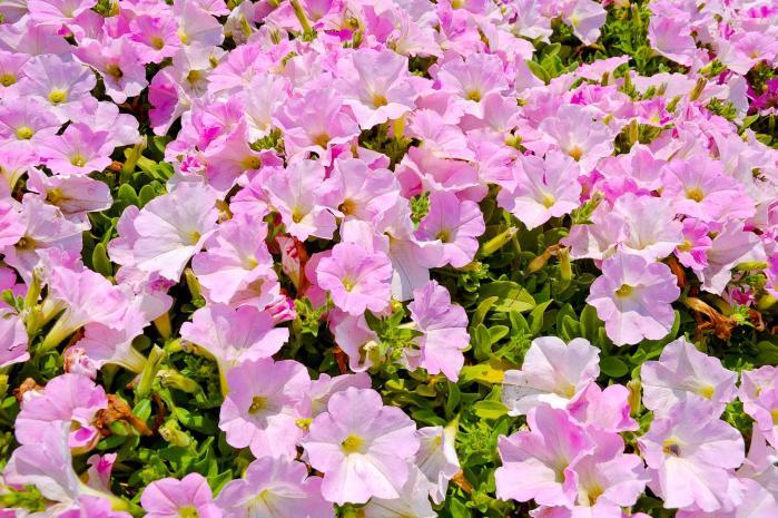 ピンク色の綺麗な花3