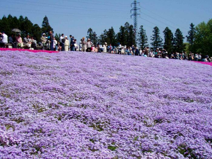 羊山公園の芝桜004