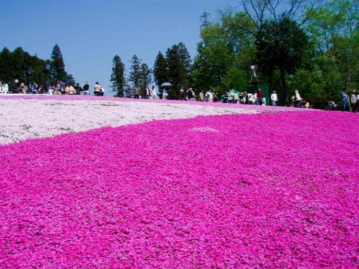 羊山公園の芝桜005