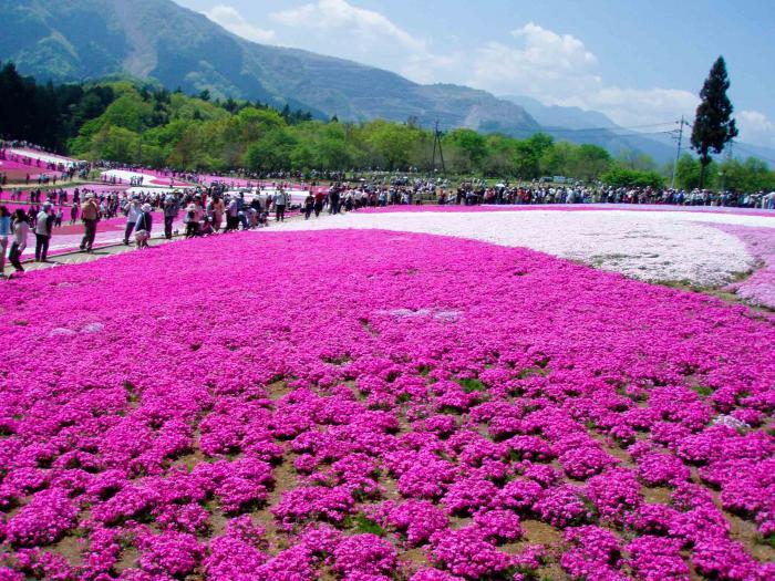羊山公園の芝桜006