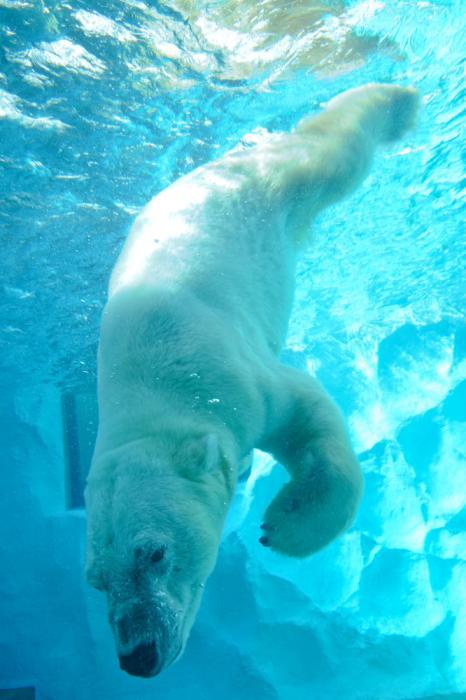 水に潜るシロクマ・上野動物園「ホッキョクグマとアザラシの海」