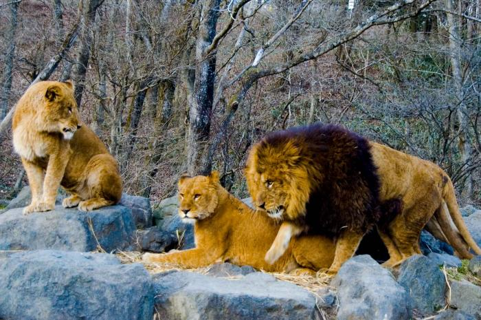 サファリパークのライオン