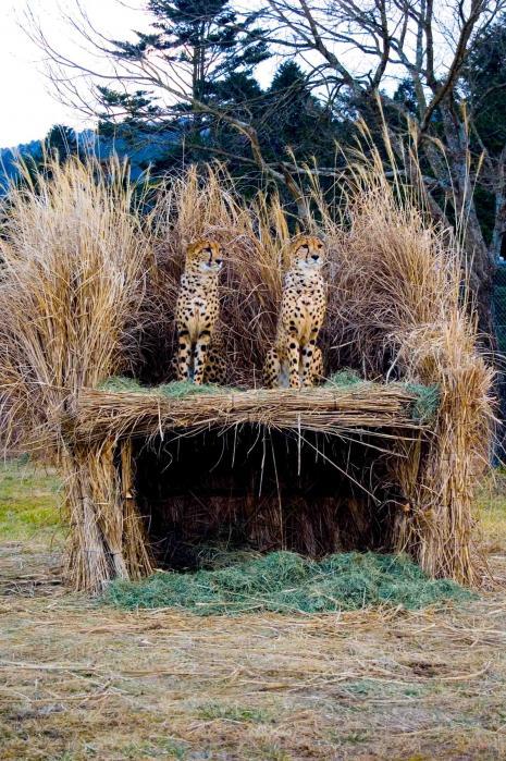 サファリパークのヒョウ