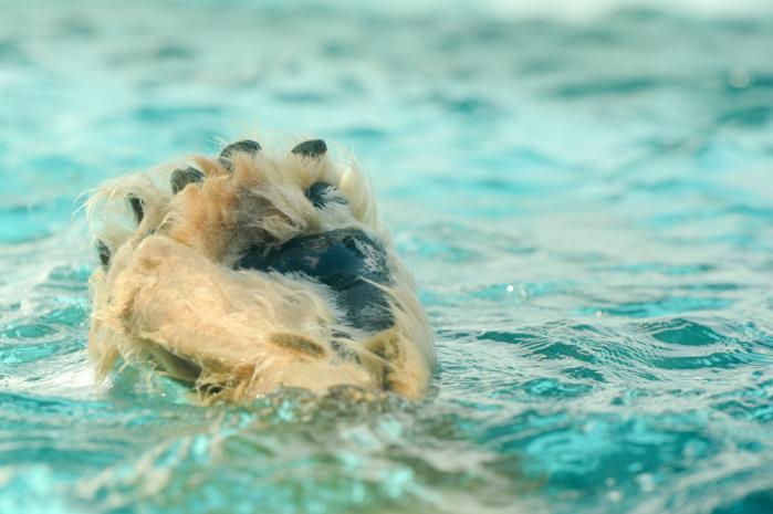 水面から足だけ出てるシロクマ・上野動物園「ホッキョクグマとアザラシの海」