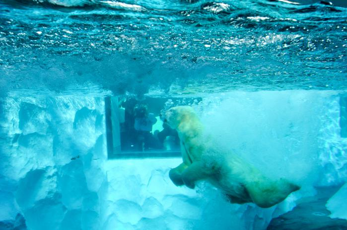 水にダイビングしたシロクマ