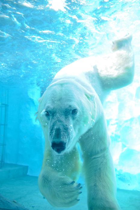 水の中を泳ぐシロクマ4