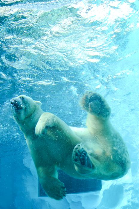 水の中を泳ぐシロクマ2