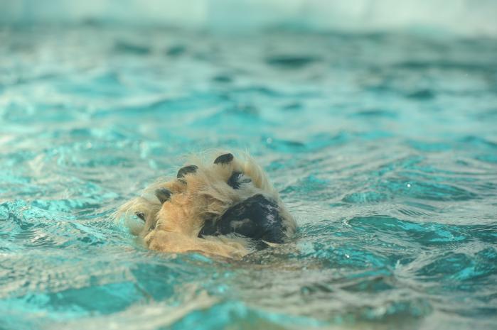 水面に出たシロクマの足2