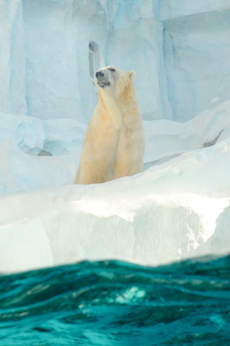 吠えるシロクマを水面から見る2