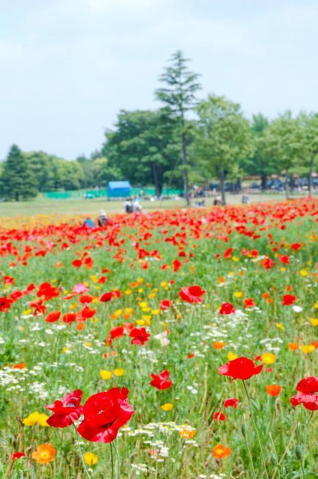 昭和記念公園のポピー畑002
