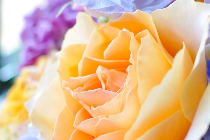 オレンジの薔薇 縦位置